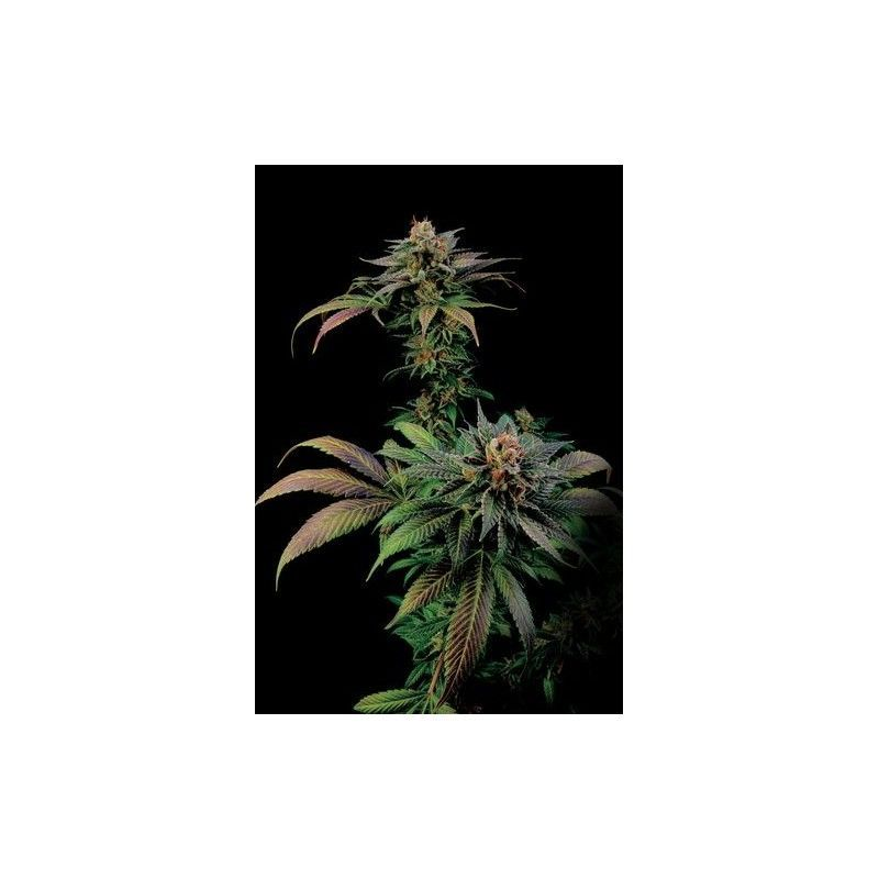 Blue Widow Fem (1 Semilla) Dinafem