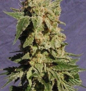 Kannabia Seeds Bcn Diesel Fem (5 Semillas)