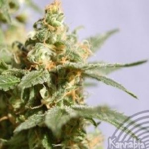 Kannabia Seeds Smile Fem (5 Semillas)