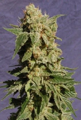 Kannabia Seeds Bcn Diesel Fem (1 Semilla)