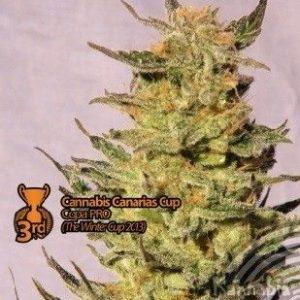 Kannabia Seeds Karamelo Fem (1 Semilla)