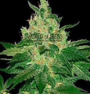 World Of Seeds Afgan Kush Reg (10 Semillas)