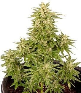Smoking Hard Seeds Double Cryt Auto (6 Semillas)