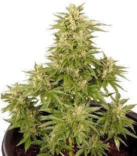 Smoking Hard Seeds Double Cryt Auto (10 Semillas)