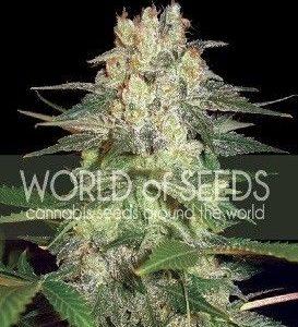 World Of Seeds Afgan Kush Ryder Auto (3 Semillas)