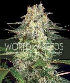 World Of Seeds Afgan Kush Ryder Auto (7 Semillas)