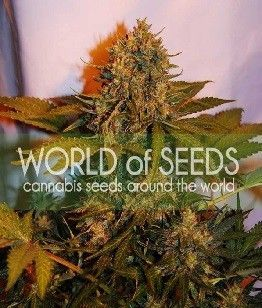 World Of Seeds Northern Light X Big Bud Auto (3 Semillas)