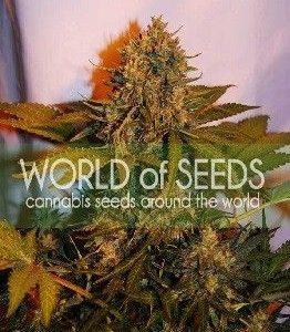 World Of Seeds Northern Light X Big Bud Auto (12 Semillas)