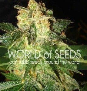 World Of Seeds Pakistan Ryder Auto (3 Semillas)