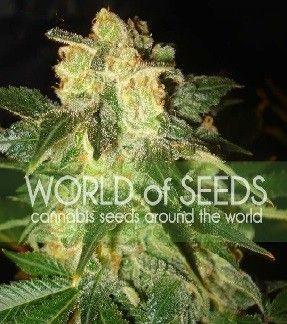 World Of Seeds Pakistan Ryder Auto (12 Semillas)