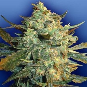 Flying Dutchmen Power Skunk Fem (10 Semillas)