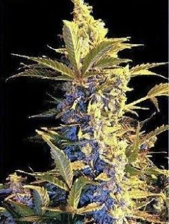 Joint Doctor´s Easy Ryder Auto (10 Semillas)