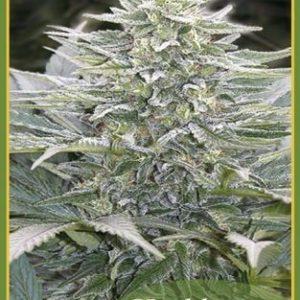 Mandala Seeds Hashberry Reg (10 Semillas)