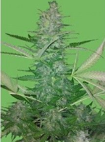 Seeds Of Life Big Low Fem (3 Semillas)