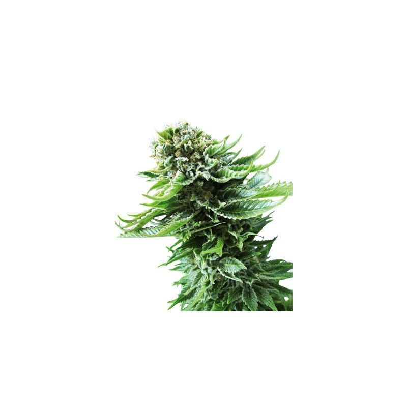 Northern Lights Automatic(10 semillas) Sensi Seeds Automaticas