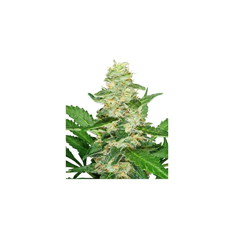 Super Skunk Automatic(5 semillas) Sensi Seeds Automaticas