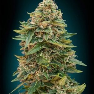 Seeds Of Life Sol Haze Fem (1 Semilla)