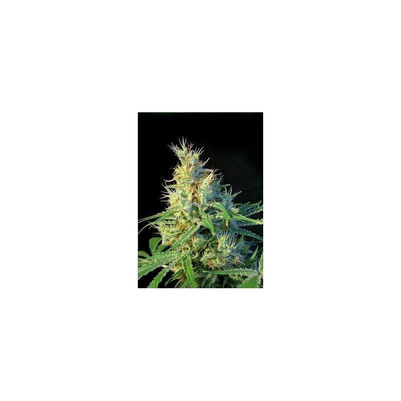 Sweet Seeds Psicodelicia Fem (5+2 semillas)