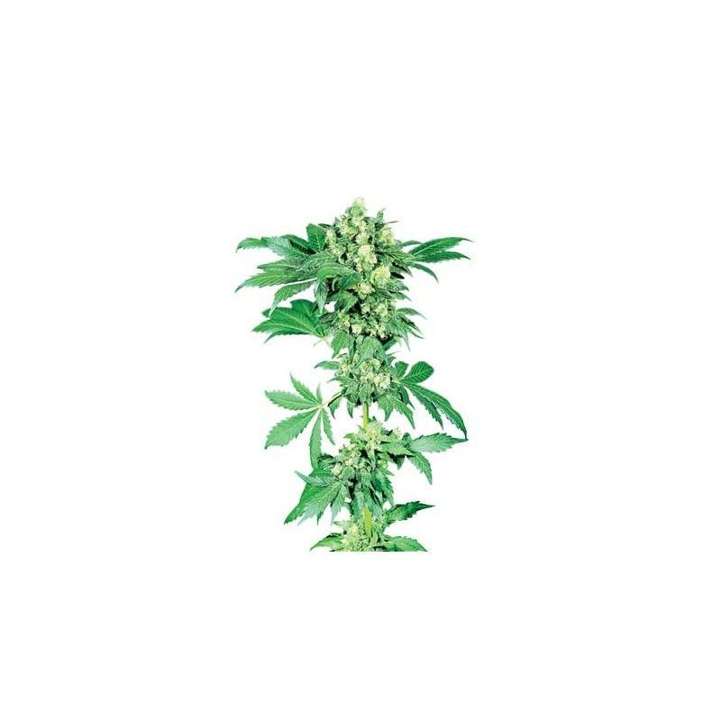 Afghani 1 Regular(10 semillas) Sensi Seeds Regulares
