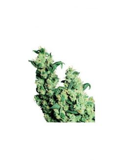 Jack Herer Regular(10 semillas) Sensi Seeds Regulares