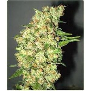 Professional Seeds Doble Jack Fem (10 Semillas)