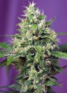 Sweet Seeds Blow Mind Auto (5+2 Semillas)