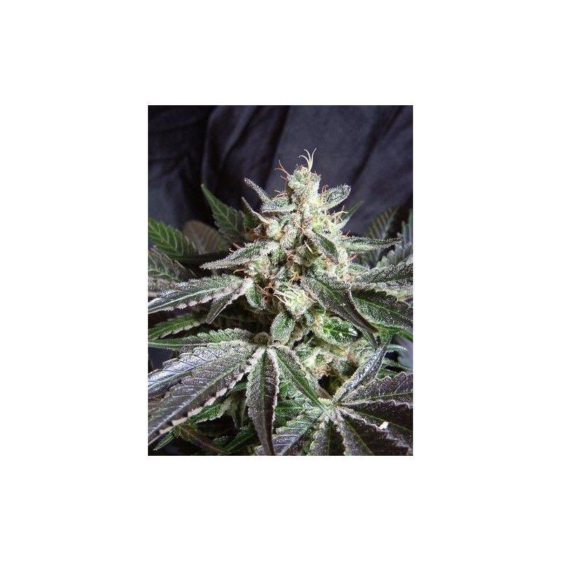 Sweet Seeds Black Jack Fast Fem (3+1 Semillas)