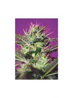 Botafumeiros Fem (5 Semillas) Sweet Seeds